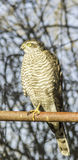 Sparrowhawk female perching on a post / Accipiter nisus Stock Image