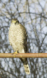 Sparrowhawk female perching on a post / Accipiter nisus Stock Photography