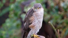 Sparrowhawk femenino que busca para la presa metrajes