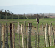 Sparrowhawk on fence Royalty Free Stock Images