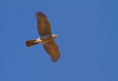 Sparrowhawk flying over Royalty Free Stock Image
