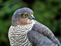 Sparrowhawk in the garden. Regular vistors to the garden are a pair of sparrowhawks, probably because I have a huge number of wee birds coming to eat at what royalty free stock photos