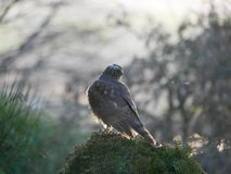 Sparrowhawk in the garden. Regular vistors to the garden are a pair of sparrowhawks, probably because I have a huge number of wee birds coming to eat at what stock photography