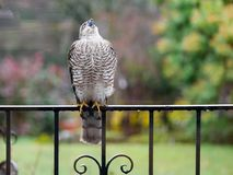 Sparrowhawk in the garden. Regular vistors to the garden are a pair of sparrowhawks, probably because I have a huge number of wee birds coming to eat at what stock image