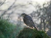 Sparrowhawk in the garden. Regular vistors to the garden are a pair of sparrowhawks, probably because I have a huge number of wee birds coming to eat at what stock photos