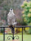 Sparrowhawk in the garden. Regular vistors to the garden are a pair of sparrowhawks, probably because I have a huge number of wee birds coming to eat at what stock images