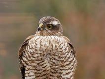 Sparrowhawk i trädgården arkivbilder