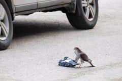 Sparrowhawk i zdobycz po środku ulicy zdjęcie royalty free