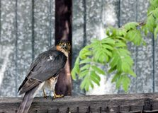 Sparrowhawk looks at the photographer. Clearly visible fiery yellow eyes Royalty Free Stock Photos