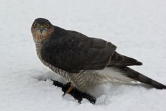 A Sparrowhawk at lunch Stock Images
