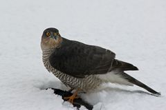 A Sparrowhawk at lunch Stock Image