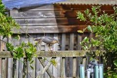 Sparrowhawk mange un oiseau sur une barrière Images stock