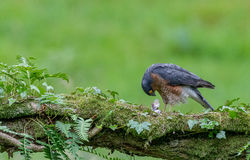 Sparrowhawk med rovet Royaltyfri Bild
