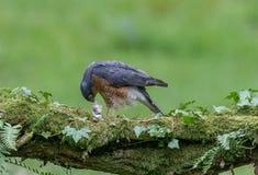 Sparrowhawk med rovet Fotografering för Bildbyråer