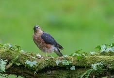Sparrowhawk med rovet Arkivbild