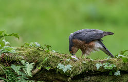 Sparrowhawk med rovet Royaltyfri Fotografi