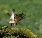 Sparrowhawk med rovet Arkivbilder