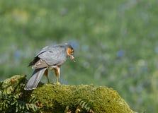Sparrowhawk med rovet Royaltyfri Foto