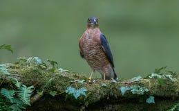 Sparrowhawk med rovet Arkivfoto