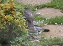Sparrowhawk med rovet - serie 1 av 5 Arkivbilder