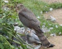 Sparrowhawk med rovet - serie 2 av 5 Fotografering för Bildbyråer