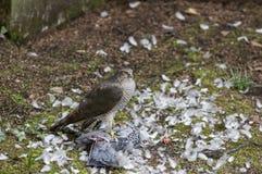 Sparrowhawk met een duif als prooi Royalty-vrije Stock Foto