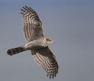 Sparrowhawk (Accipiter nisus) Stock Photo