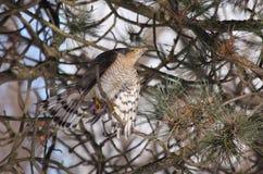 Sparrowhawk mit Opfer Lizenzfreies Stockfoto