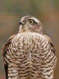 Sparrowhawk nel giardino fotografia stock