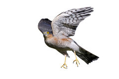 Sparrowhawk, nisus настоящего ястреба Стоковые Изображения RF