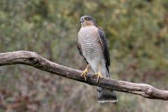 Sparrowhawk, nisus d'Accipiter Images libres de droits