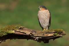Sparrowhawk (nisus del Accipiter) Fotos de archivo libres de regalías