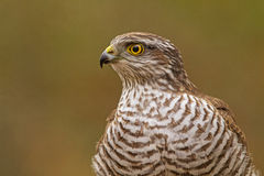 Sparrowhawk portrait royalty free stock photos