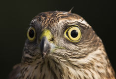Sparrowhawk portrait Royalty Free Stock Photo