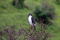 Sparrowhawk preto Imagem de Stock