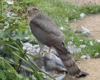 Sparrowhawk with Prey - Series 2 of 5 Stock Image