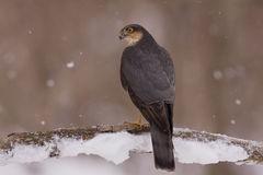 Sparrowhawk profile Stock Photography