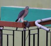 Sparrowhawk - Shikra στοκ εικόνες