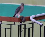 Sparrowhawk - Shikra στοκ φωτογραφίες με δικαίωμα ελεύθερης χρήσης