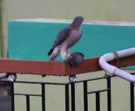 Sparrowhawk - Shikra στοκ φωτογραφίες