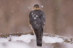 Sparrowhawk on a snowy perch stock photography