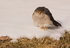 Sparrowhawk walking Stock Image