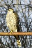 Sparrowhawk weibliches Hocken auf einem Beitrag/einem Accipiter nisus Stockfotos