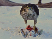Sparrowhawk who hit a pigeon in winter landscape 4 Stock Images
