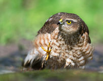 Sparrowhawk Royalty Free Stock Photography