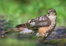 Sparrowhawk Stock Image
