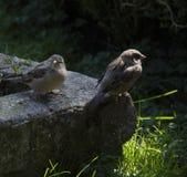 sparrows fotografie stock
