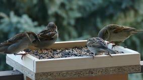 sparrows stock video