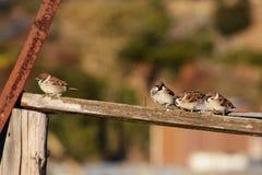 sparrows Arkivbilder