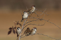 Sparrows. Few sparrows perched on a twig stock photo